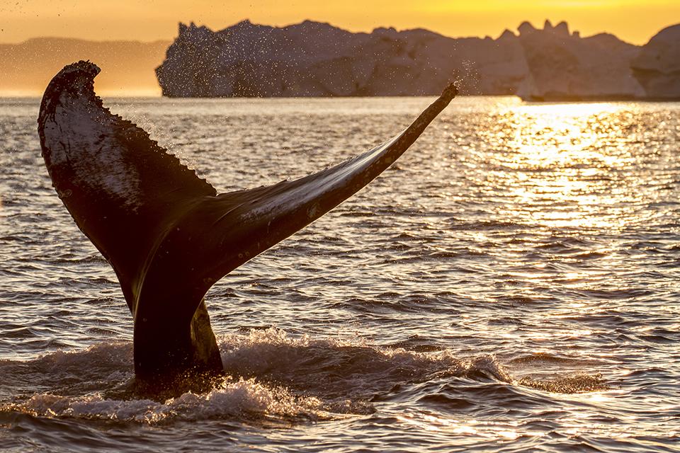 Синии кит