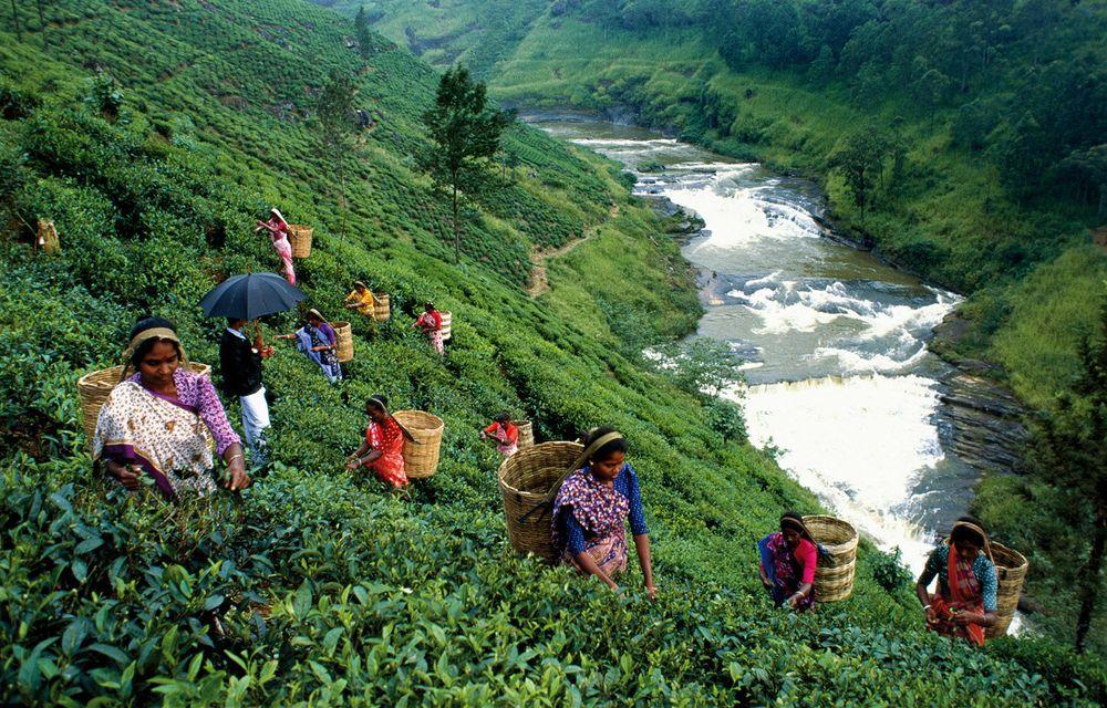 Цейлонский чай Шри Ланка