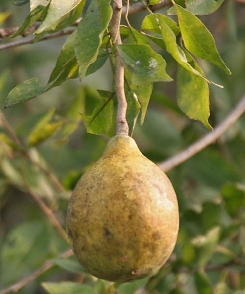 Экзотические фрукты Шри-Ланки Каменное яблоко