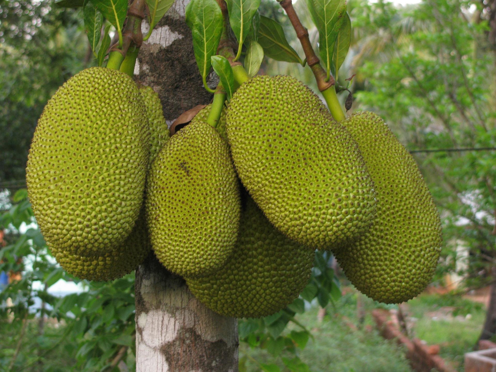 Экзотические фрукты Шри-Ланки Джекфрукт
