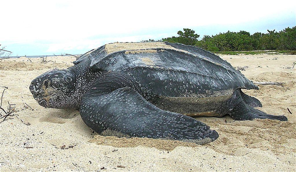 Кожистая черепаха Шри Ланка