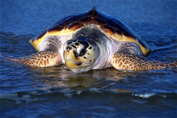 Хиккадува черепахи