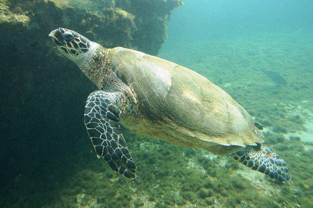 Черепаха Бисса Шри Ланка