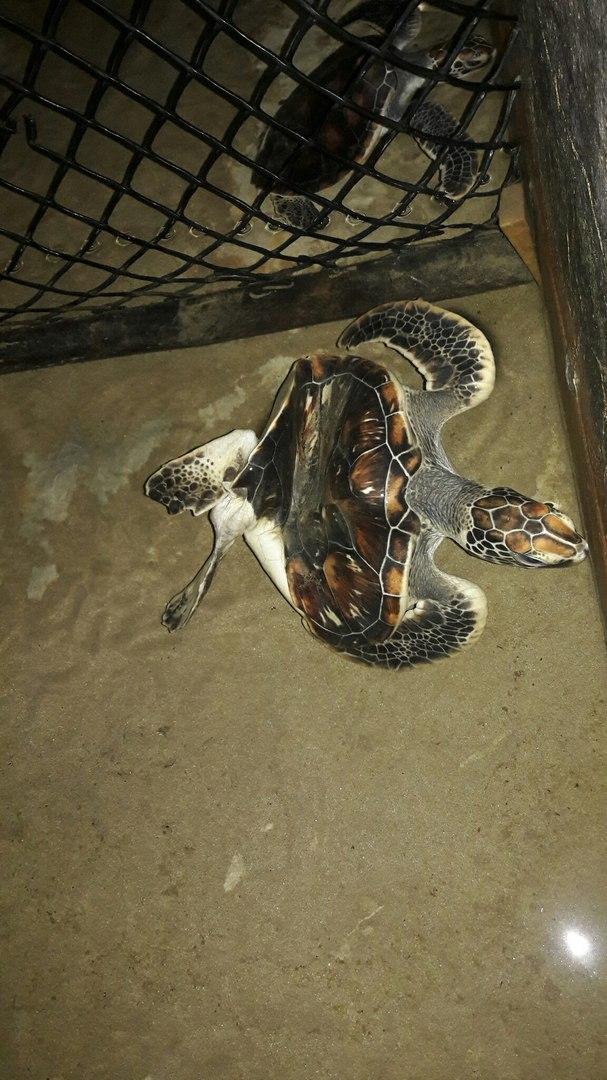Черепаха инвалид