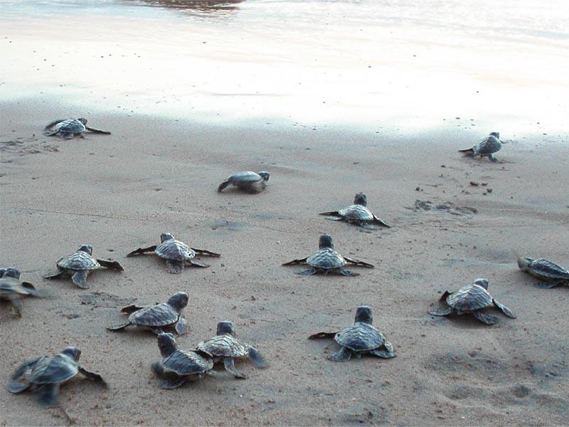 Черепахи Косгода