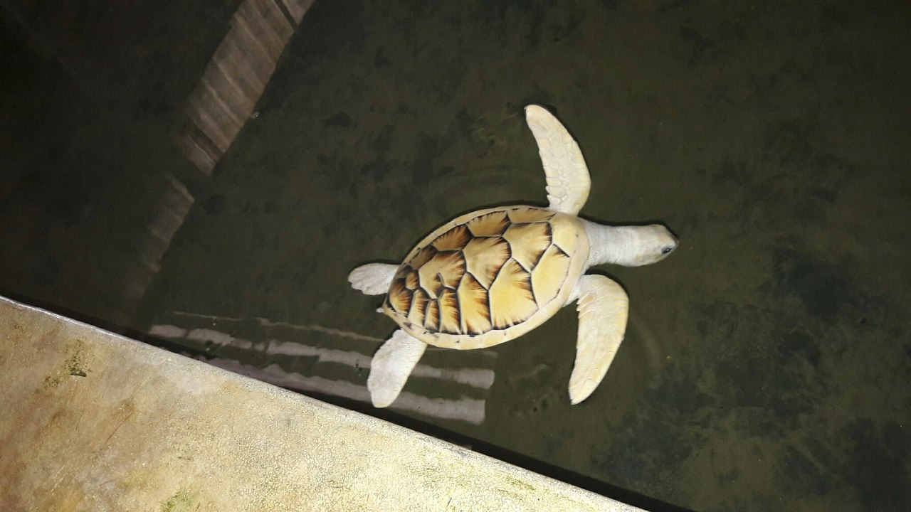 Косгода черепаховая ферма