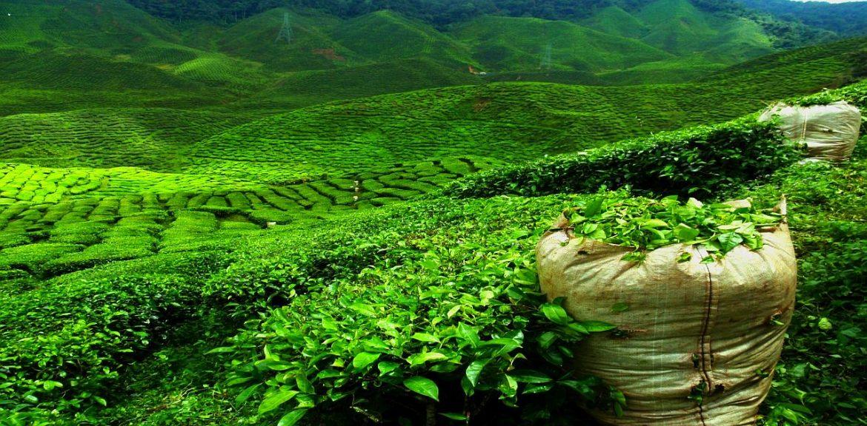 Огромные плантации чая в горах