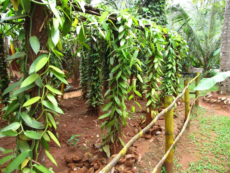 Растения специй на Шри-Ланке
